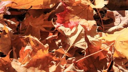 Autumn Leaves 1 Falls on Ground