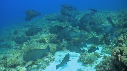 School of Humphead Parrotfish on a coral reef