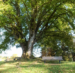 centuries-old tree