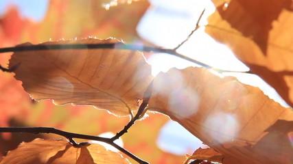 Autumn Leaves 6 Sunlight
