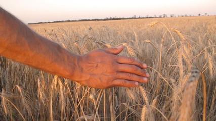 Mans hand amongst ears of wheat