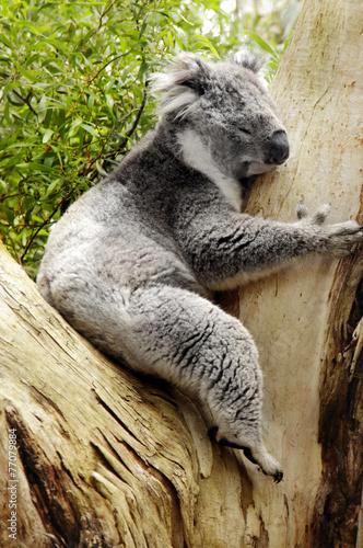 Fotobehang Koala Koalabär
