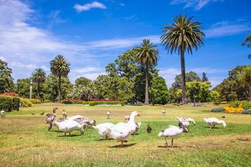 Goose family in Centennial Park , Sydney, Australia.