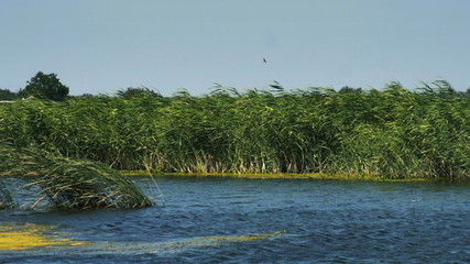 River with green reed grown on the shore