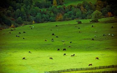 Alpine pastures and cows