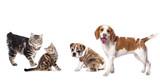 Cat and dog, Kuril Bobtail and beagle