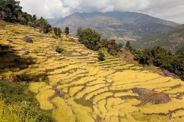 golden rice field in Nepal