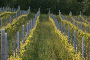 Greco di tufo - vineyard