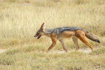Black-backed jackal in savannah