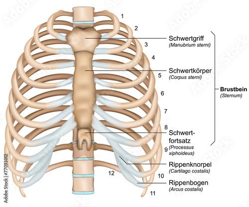 Thorax - Brustkorb || Med-koM