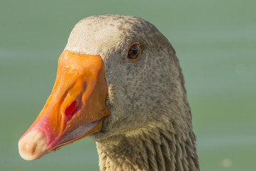 orange beak brown duck