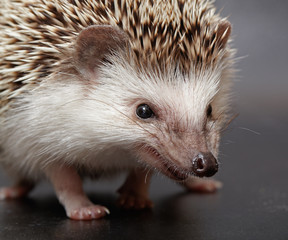 Angry hedgehog looks at you