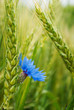 Blue cornflower in the field among the ears of cereal