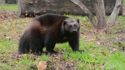 Wolverine (Gulo gulo) is looking me