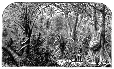 Victorian engraving of a Brazillian rain forest
