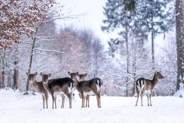 Deer Ladies in snowy Forest