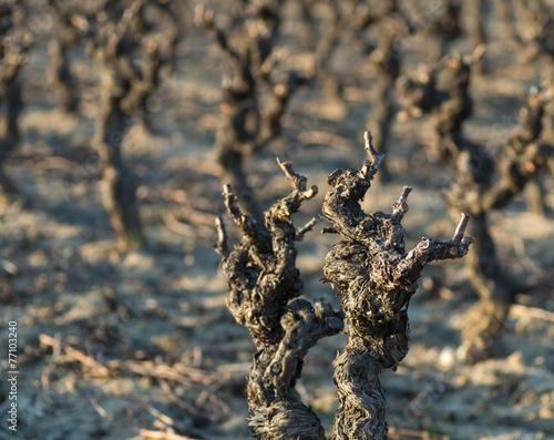 Foto op Canvas Wijngaard Vignes en hiver