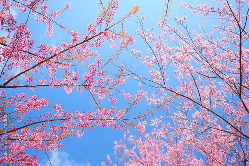 Fotobehang Kersen Pink Sakura Flowers in Springtime