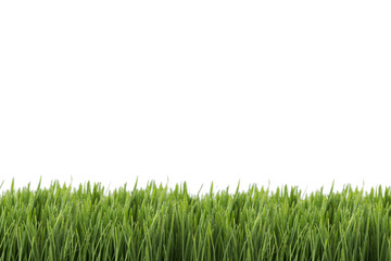 Fresh green wheatgrass isolated on white