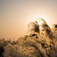 miscanthus in sunset