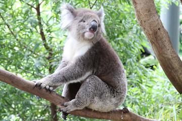 Wild Koala Bear in Australia