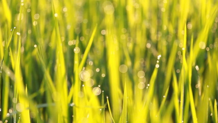 Bokeh of rice grass with dew in the morning
