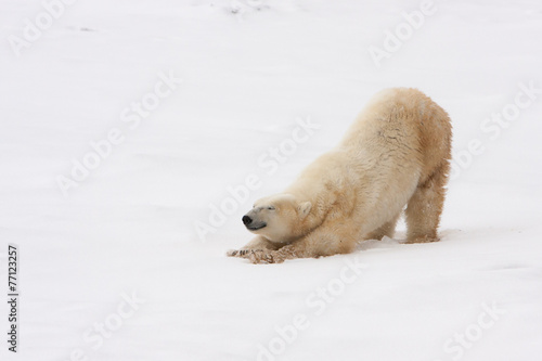 Foto op Canvas Poolcirkel Adult Polar Bear Stretching