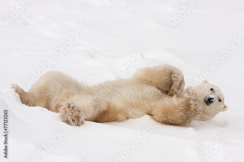 Foto op Canvas Poolcirkel Adult Polar Bear Rolling in Snow