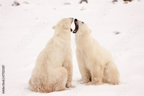 In de dag Antarctica 2 Two Polar Bears Face to Face and Bearing Teeth