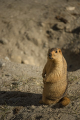 Himalayan Marmot at Pangong Lake Ladakh .India - September 2014
