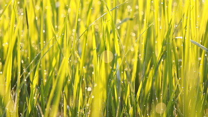 Close up of rice grass with dew in the morning