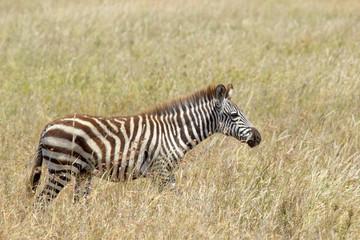 Common zebra in the savannah