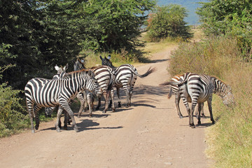 Herd of common zebras along a road