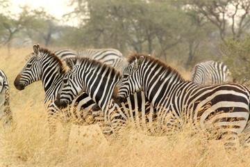 Common zebras in savannah
