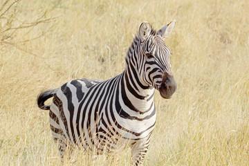 Common zebra standing in savannah