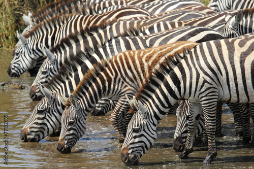 Foto op Canvas Zebra Common zebras drinking in Serengeti