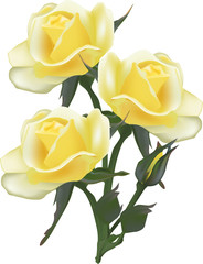 isolated bunch of three light yellow roses