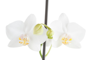 Flower of a white orchid, isolated, a white background