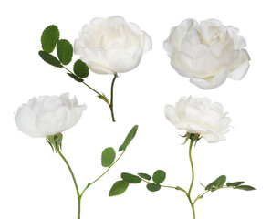isolated four white brier flowers collection