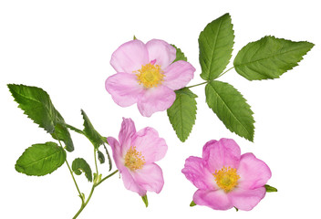 three isolated pink brier flowers with green leaves