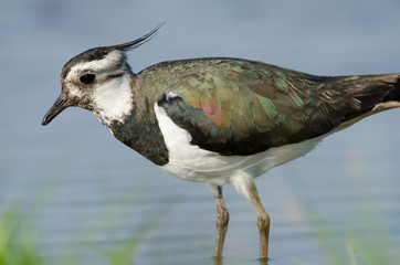 Northern lapwing (Vanellus vanellus) walking through water