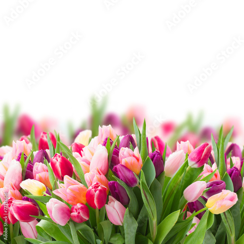 pink and violet tulips - 77138616