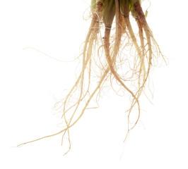 Coriander root , Parsley root , herb, spicy ingredient