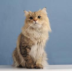 chinchilla cat on blue background