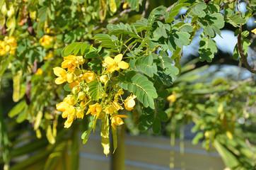 Cassia surattensis - Кассия кустарниковая