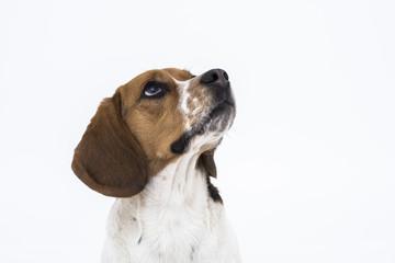 beagle dog looking up isolated on white