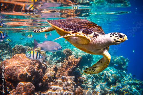 Deurstickers Onder water Hawksbill Turtle - Eretmochelys imbricata