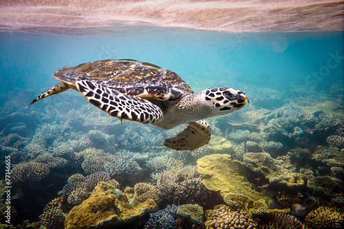 Leinwanddruck Bild Hawksbill Turtle - Eretmochelys imbricata