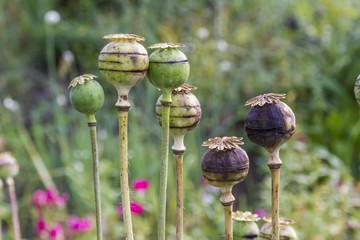 poppy heads in the garden
