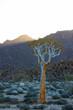 Quiver Tree in Richtersveld